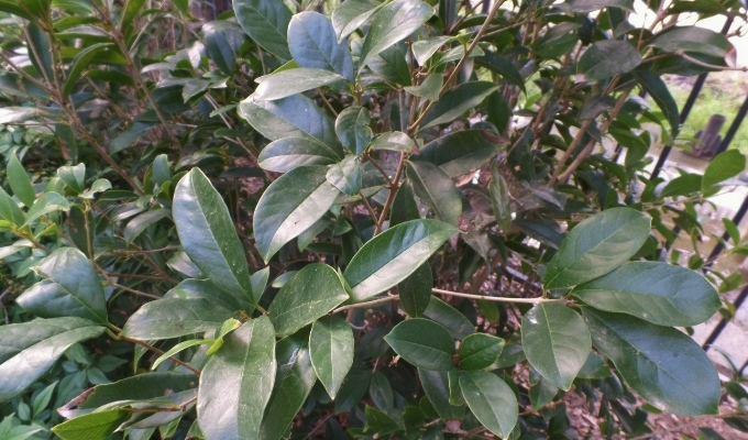 This Evergreen Tree Blooms In Spring With White Flowers. The Aromatic Plant  Is Native To Japan And Attracts Butterflies. It Tolerates Heavy Clays, ...