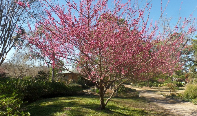 This Deciduous Tree Blooms In Winter With Fragrant Red Flowers. The  Aromatic Plant Is Native To Japan And Attracts Butterflies.